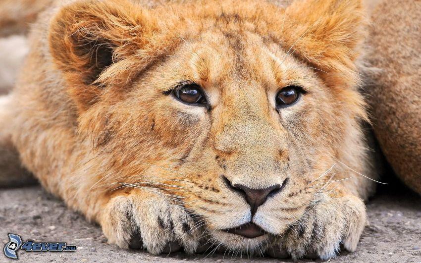 lugnt lejon