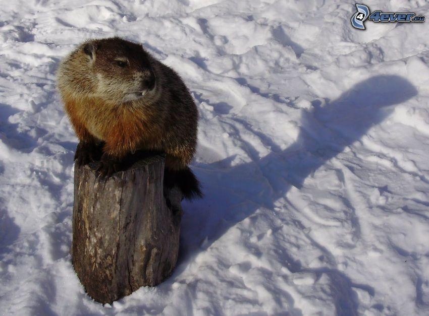 murmeldjur, snö