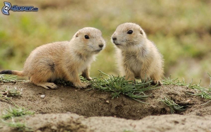 murmeldjur, ungar, håla