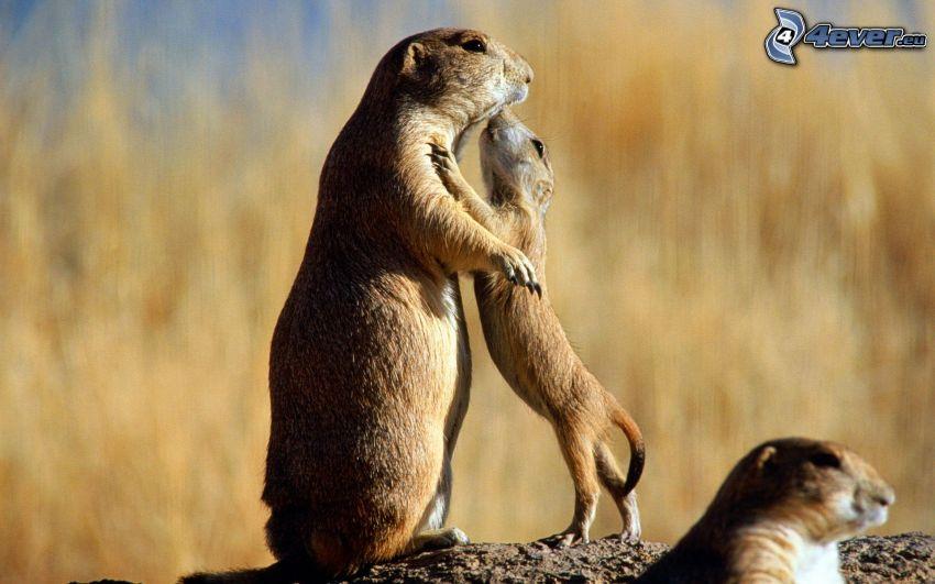 murmeldjur, unge, stam