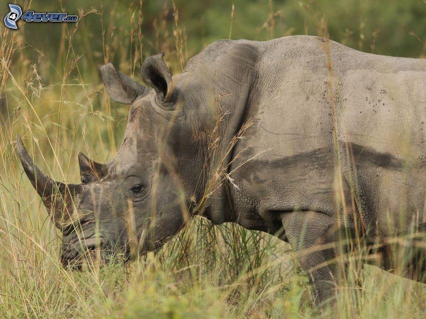 noshörning, högt gräs