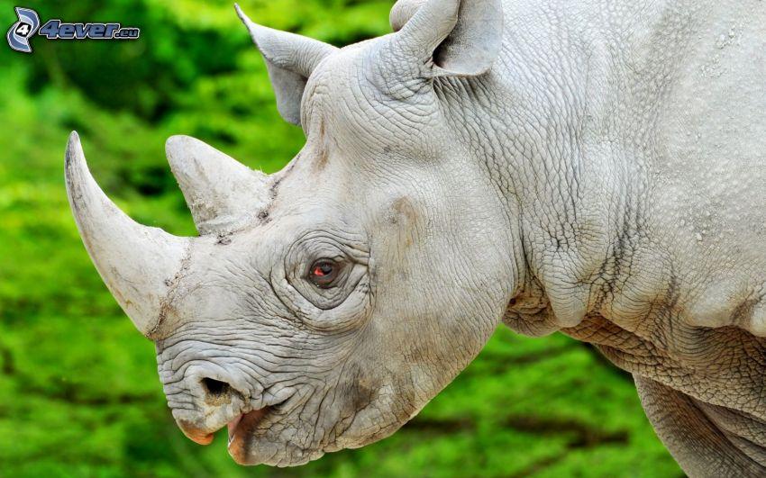 noshörning, horn, röda ögon