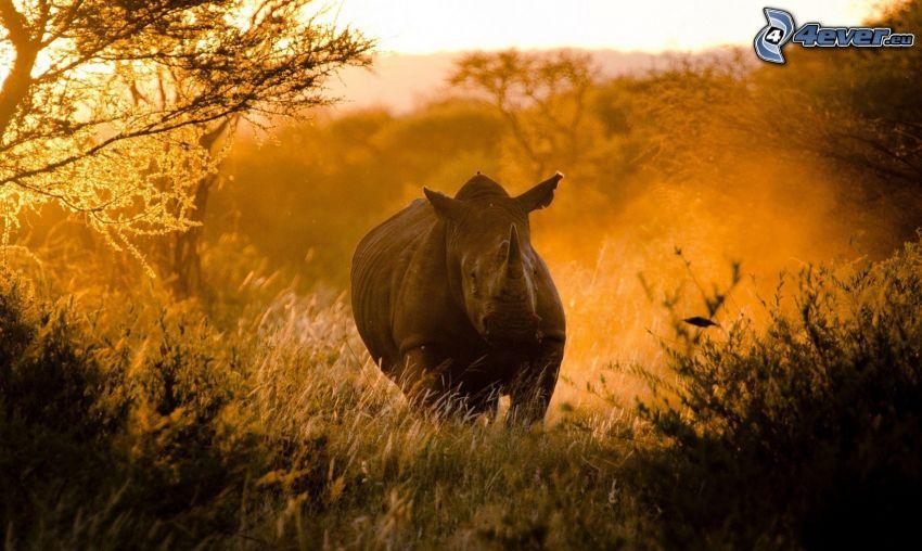 noshörning, skog