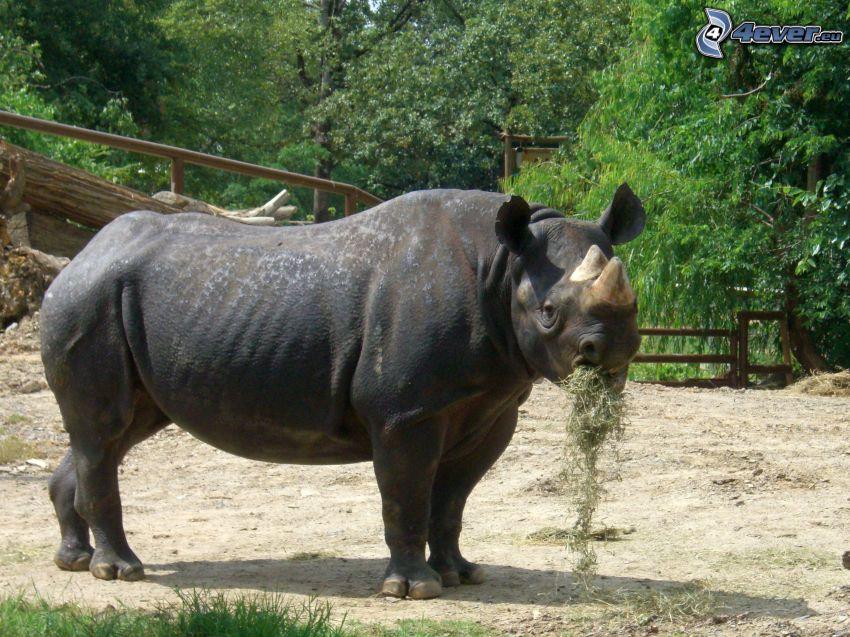noshörning, ZOO