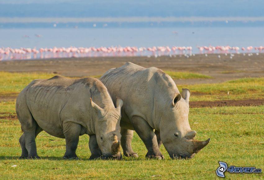 noshörningar, Nakuru, sjö, flamingos