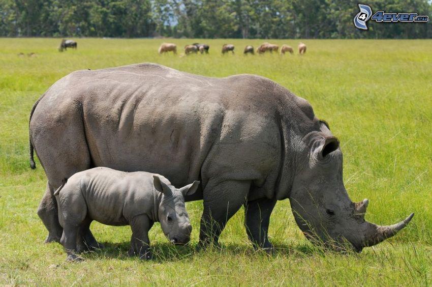 noshörningar, noshörningsunge, äng
