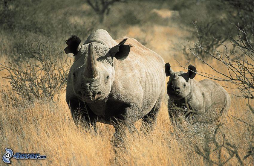 noshörningar, noshörningsunge, buskar, högt gräs