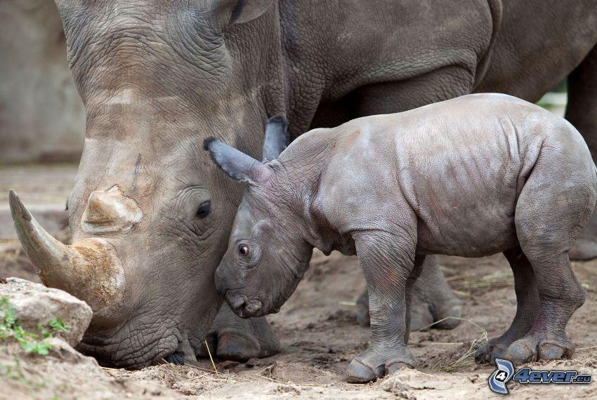 noshörningar, noshörningsunge