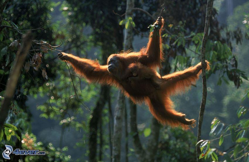 orangutang, djungel