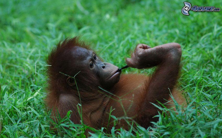orangutang, gräs