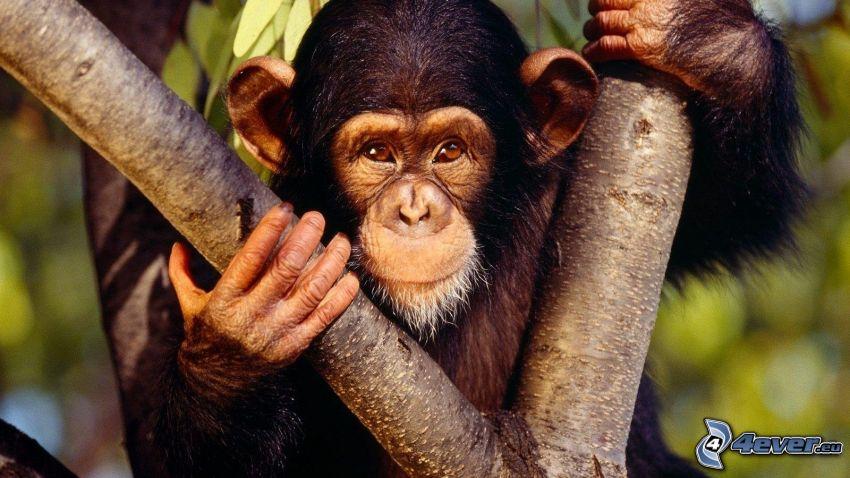 orangutang, träd