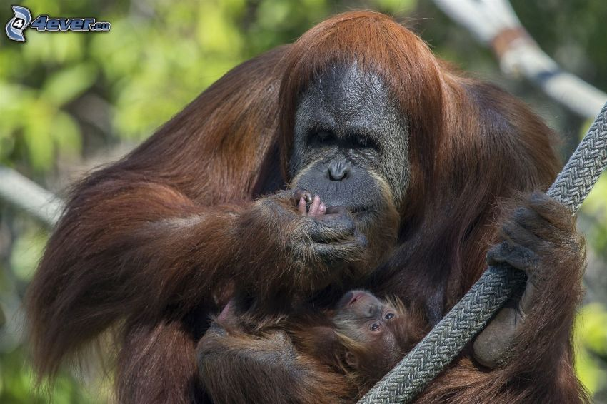orangutanger, unge