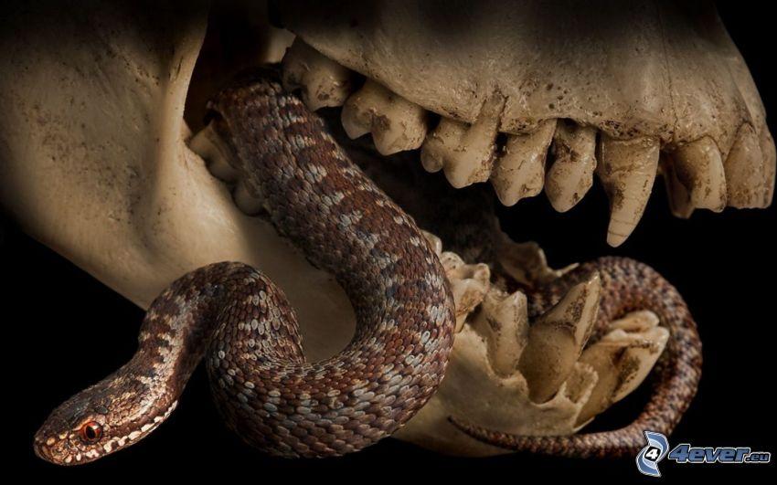 orm, dödskalle, käftar, tänder