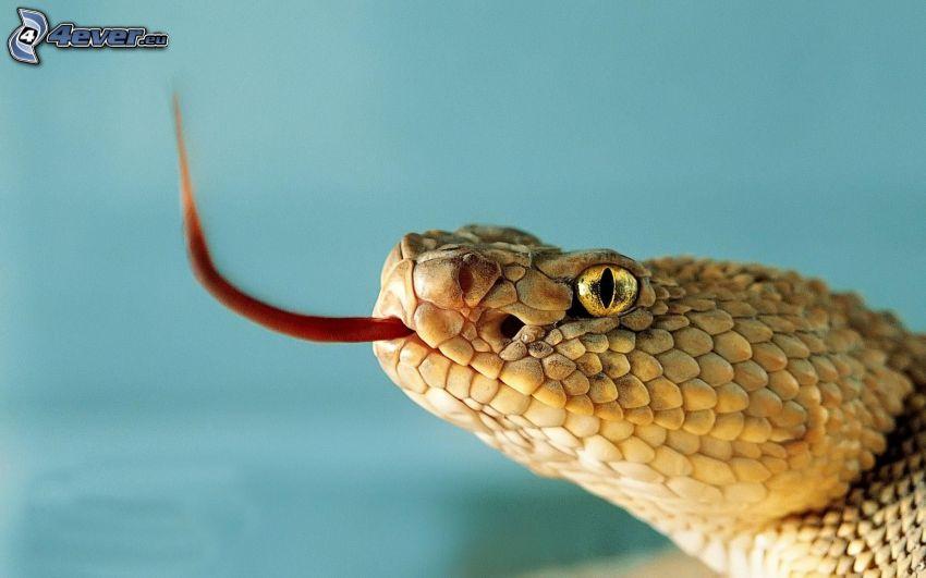 orm, huvud, räcka ut tungan