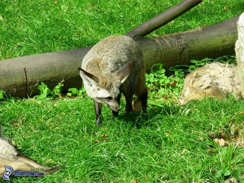 öronhund, gren, gräs
