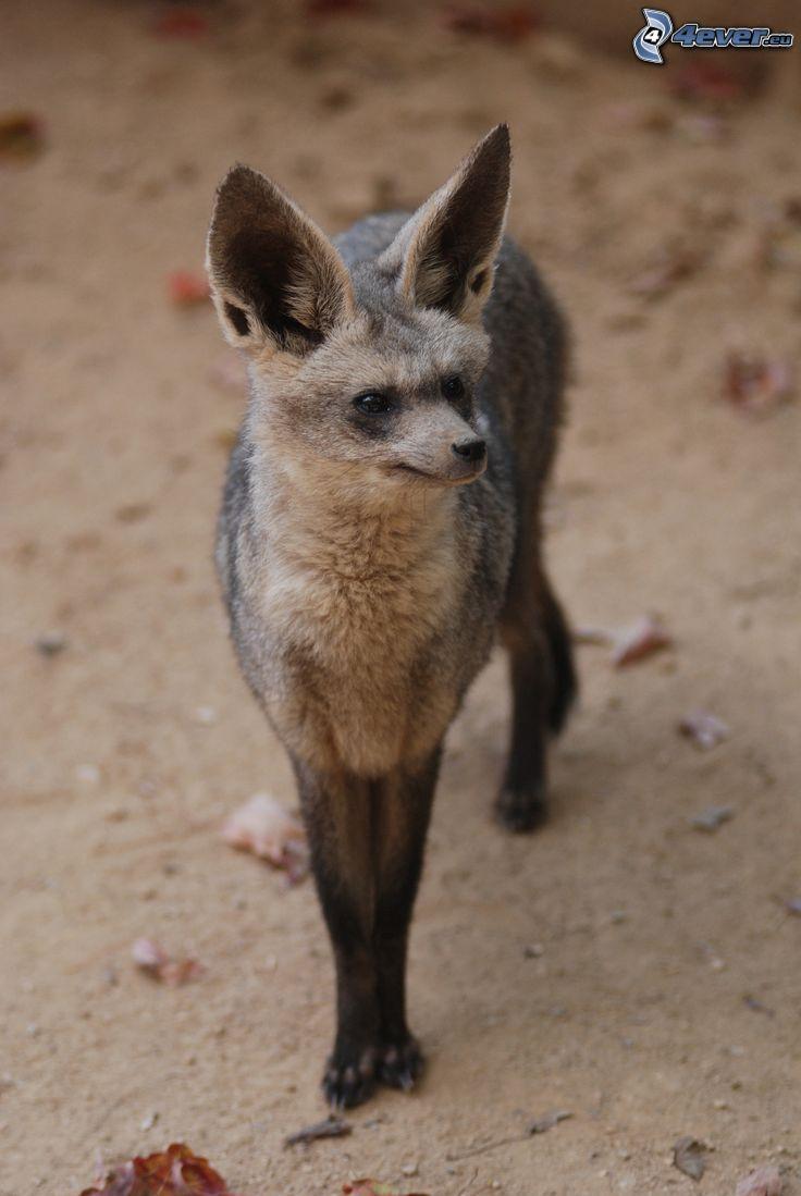 öronhund