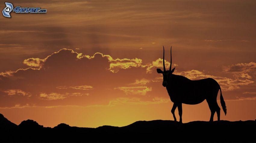 oryx, silhuett, efter solnedgången