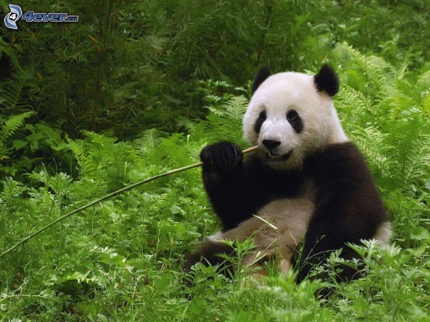 panda, bambu, djungel, föda