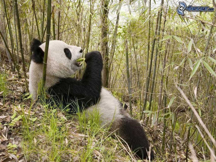 panda, bambu, föda