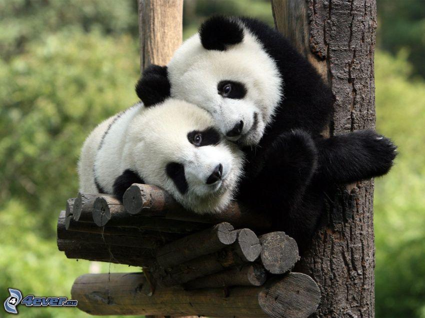 Panda i träd, ungar