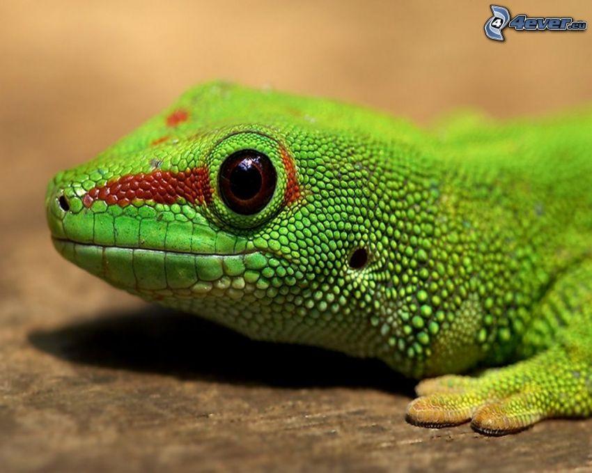 Phelsuma, salamander