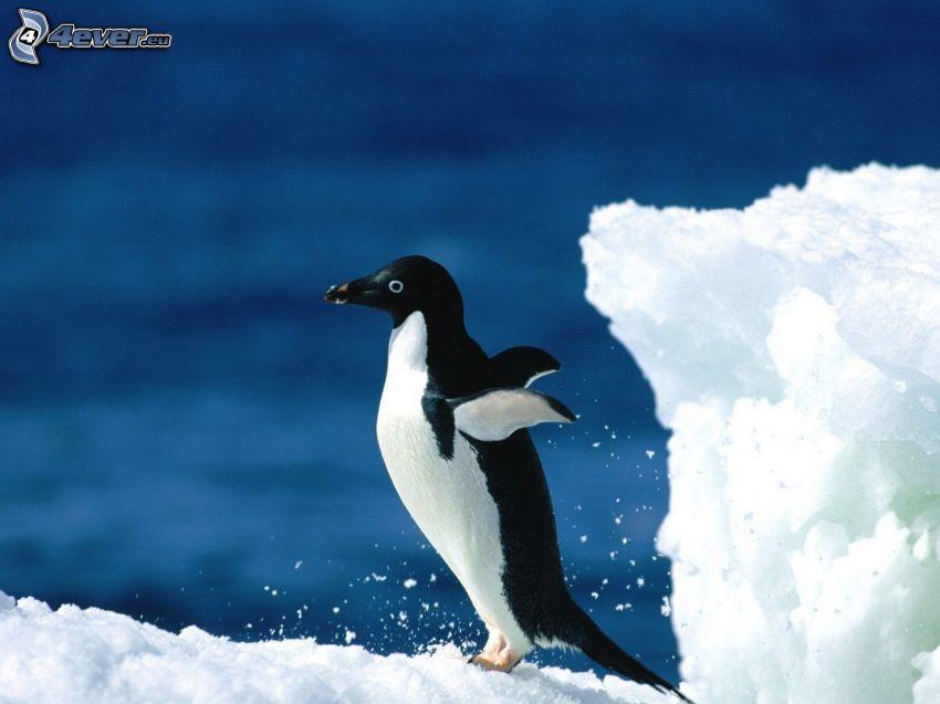 pingvin, vingar, snö