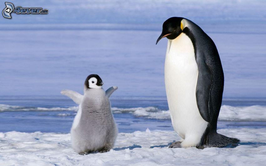 pingvin och dens unge