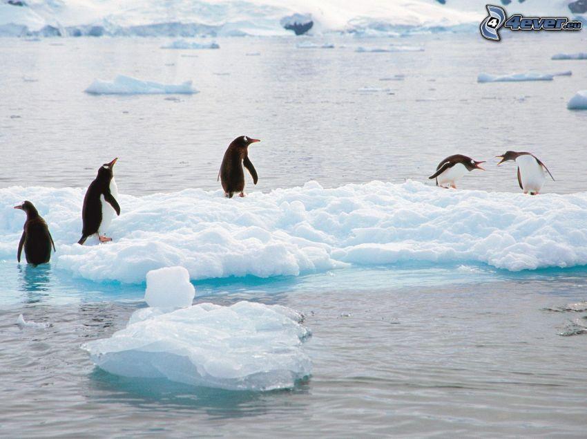 pingviner, glaciärer, vatten