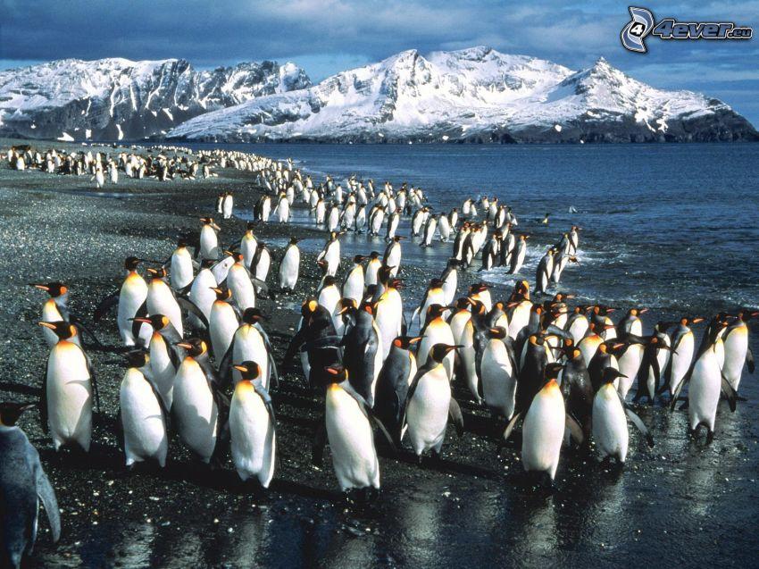 pingviner, hav, snöklädda berg