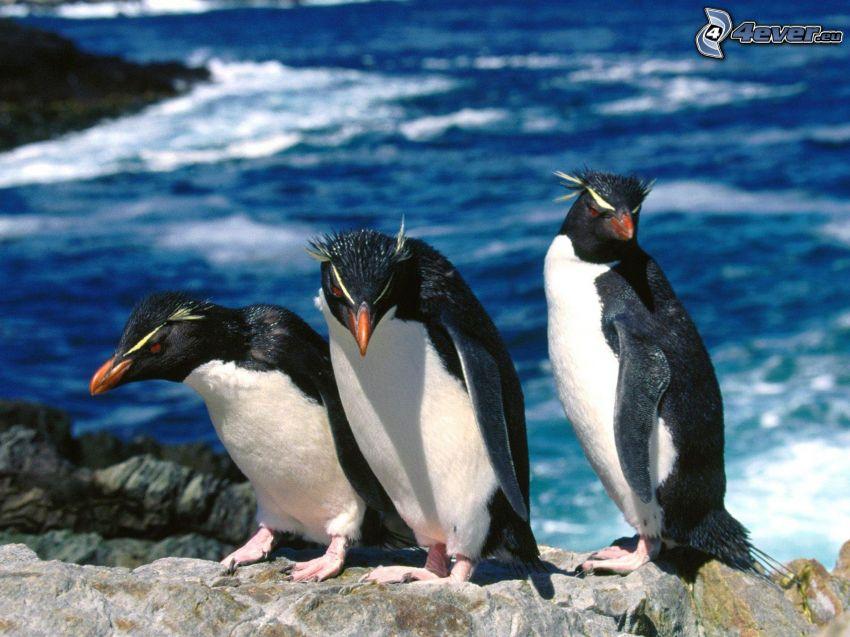 pingviner, hav