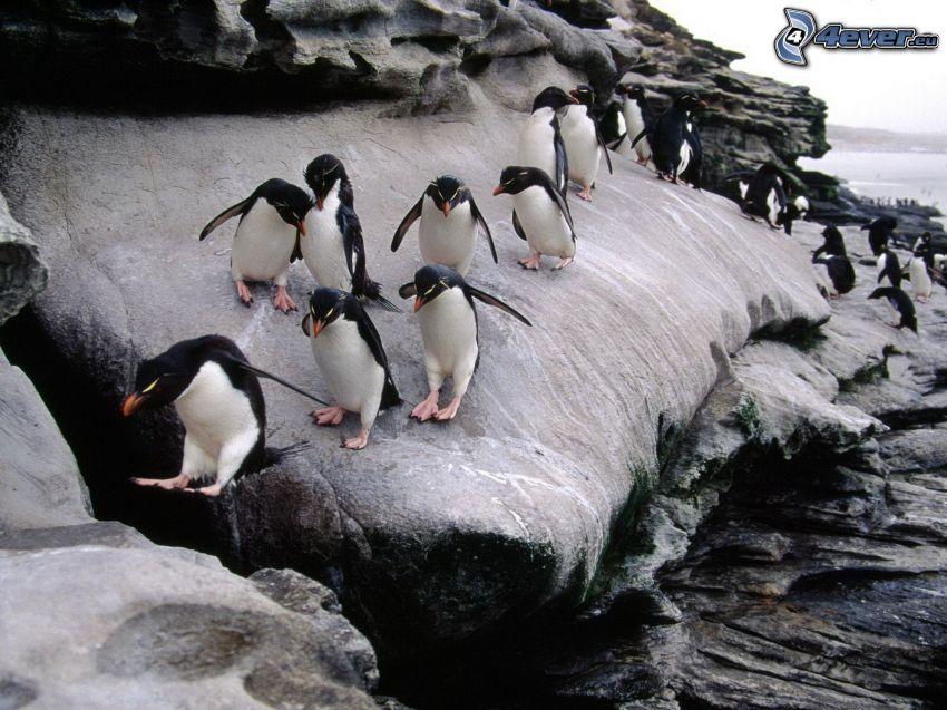 pingviner, klippa