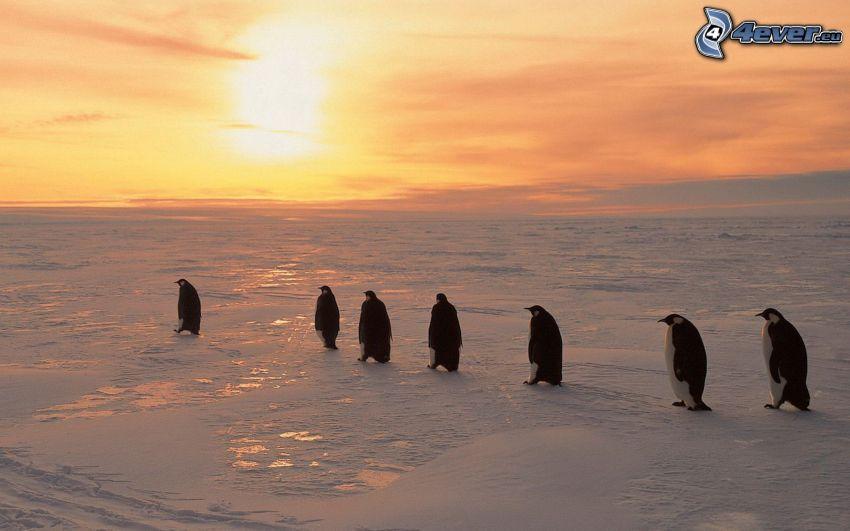 pingviner, snö, solnedgång