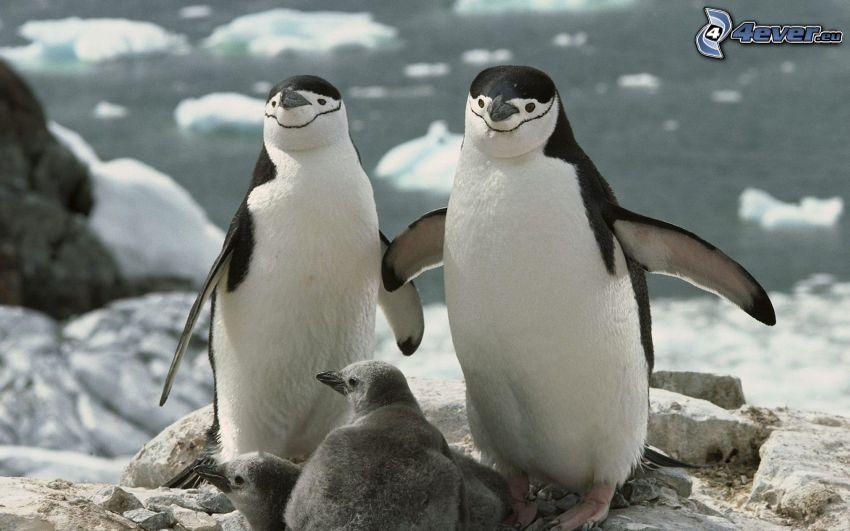 pingviner, ungar