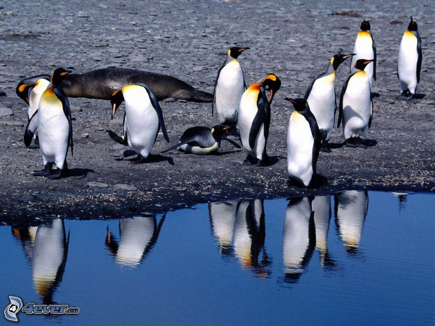 pingviner, vatten, spegling
