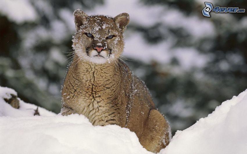 puma, snö