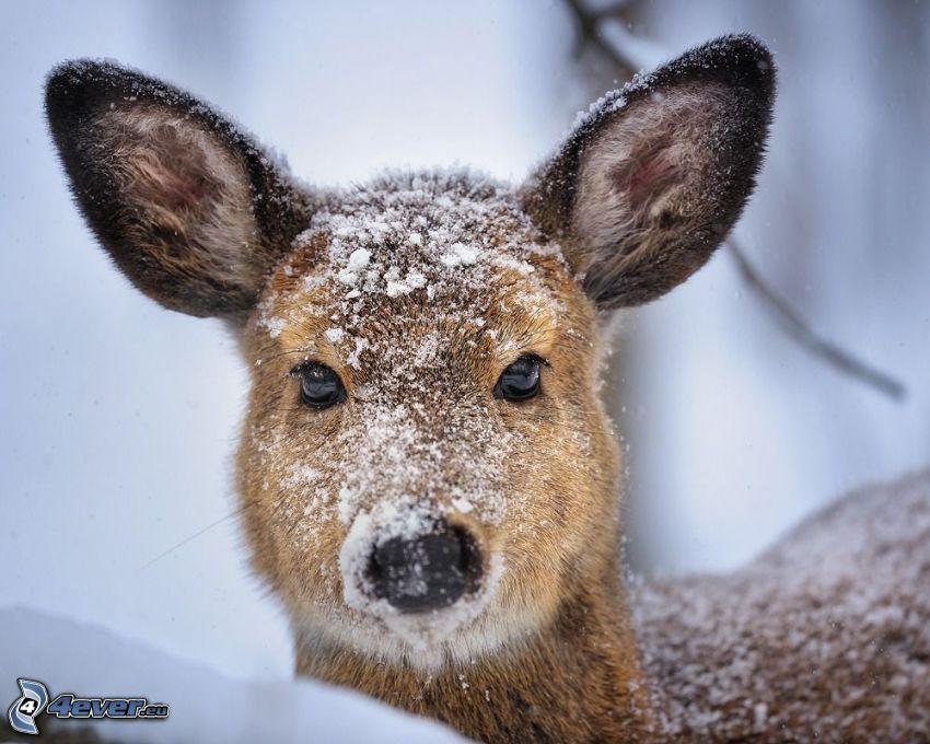 rådjur, snö
