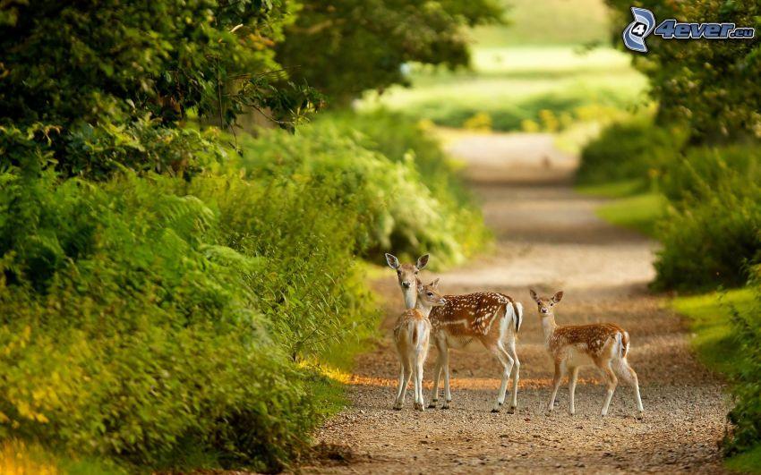 rådjur, ungar, stig genom naturen, buskar