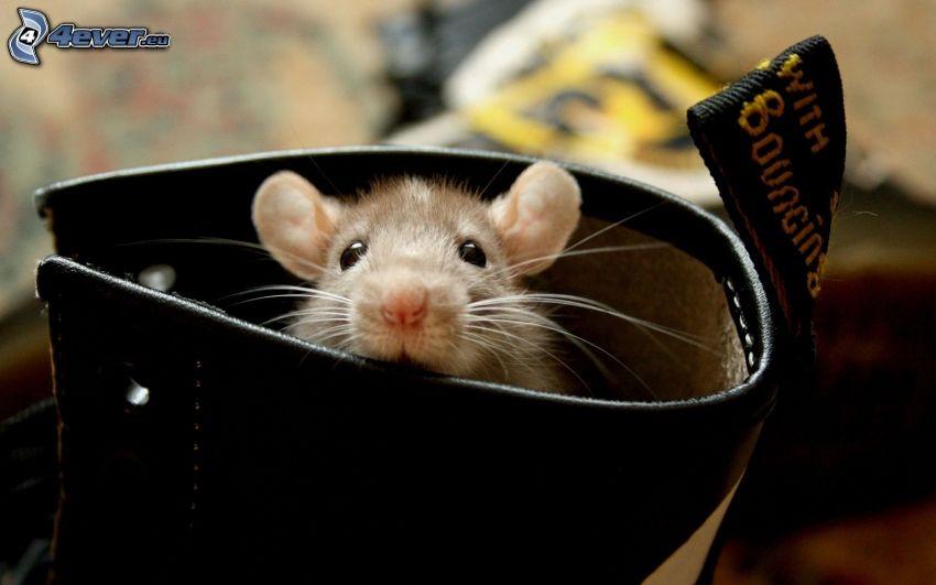 råtta, sko