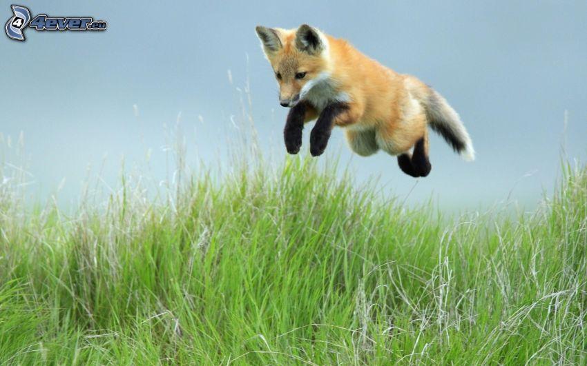 räv, unge, högt gräs, hopp