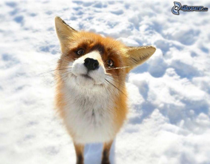 räv, unge, snö