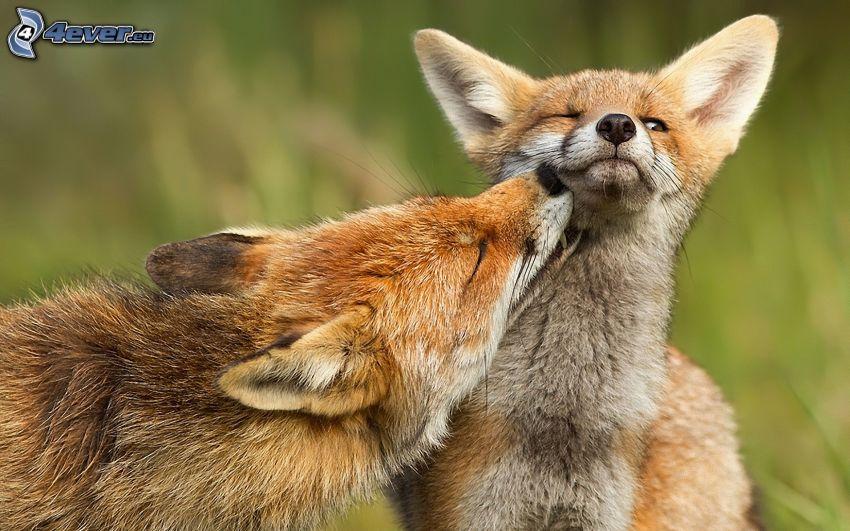rävar, puss