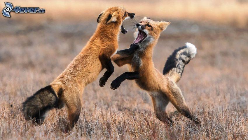 rävar, slagsmål