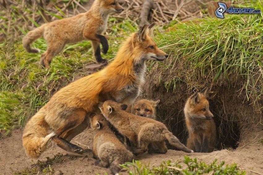 rävar, små rävar