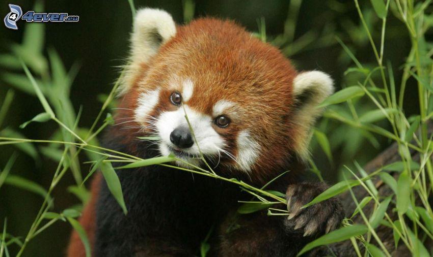 röd panda, föda