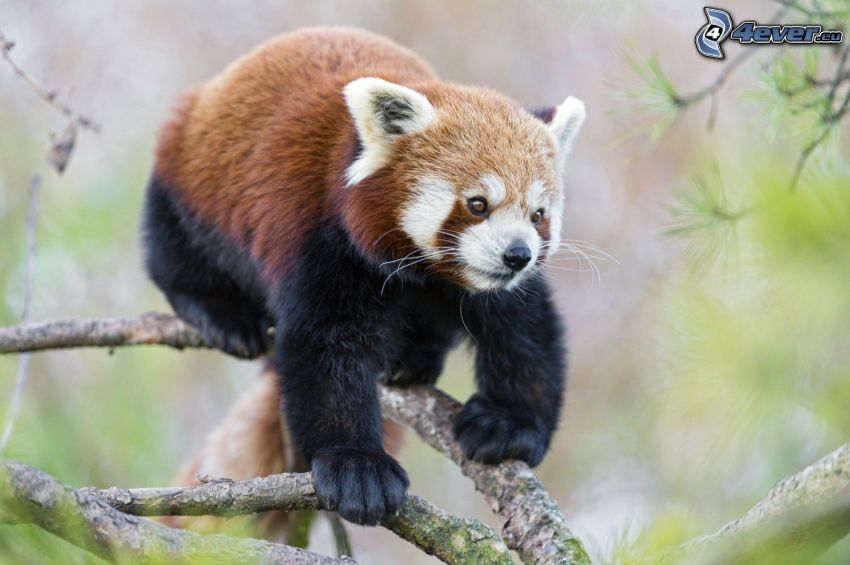 röd panda, gren