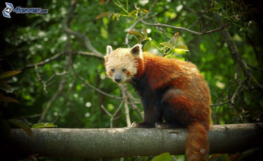 röd panda, stam