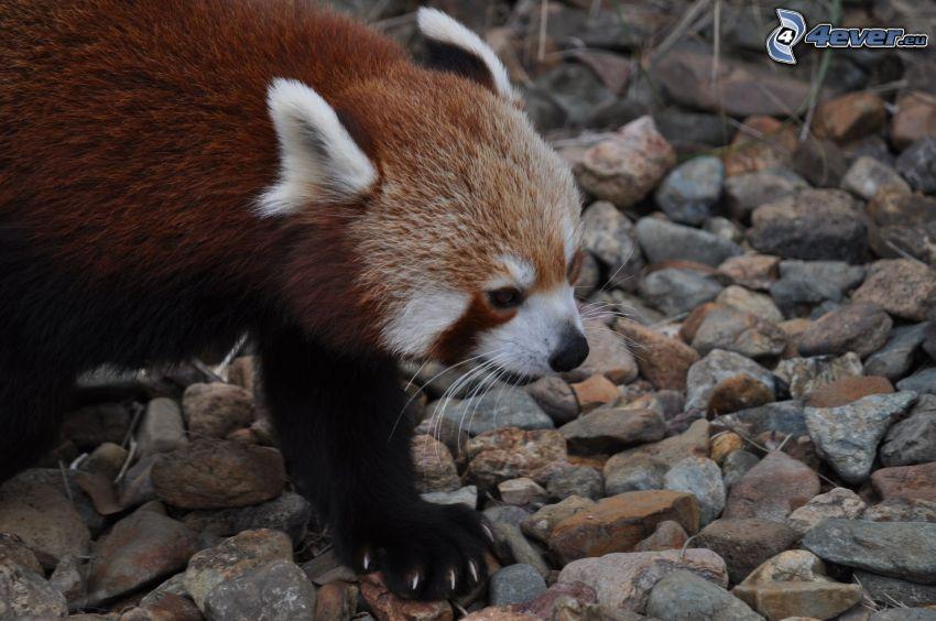 röd panda, stenar