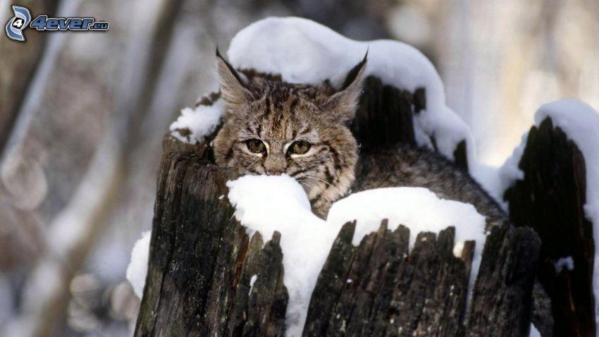 rodjur, stam, snö