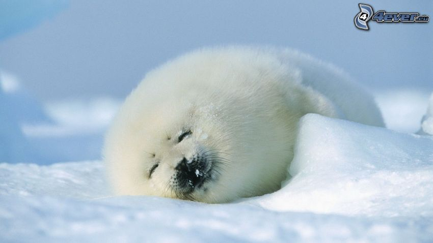 säl, snö, sömn