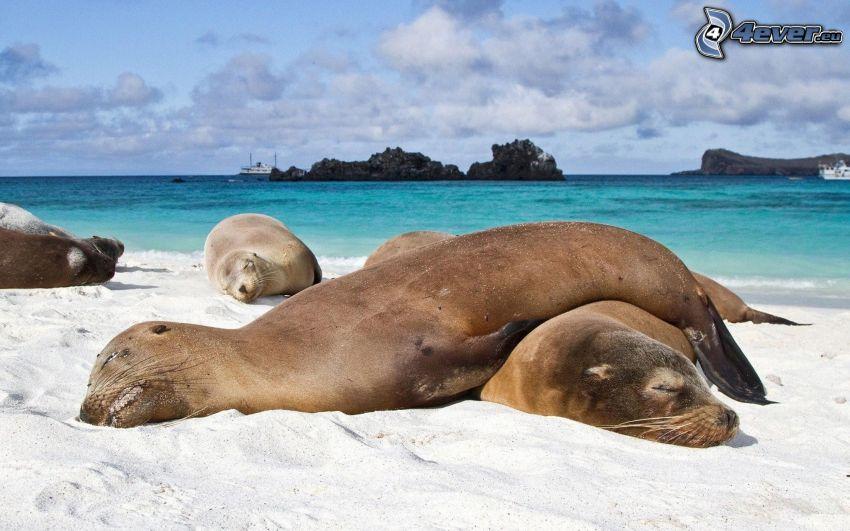 sälar, sömn, sandstrand, hav